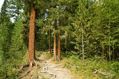 Taiga Forest Royalty Free Stock Images