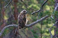 Taiga Forest Eagle Owl Imagem de Stock
