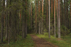 Taiga forest Royalty Free Stock Photos