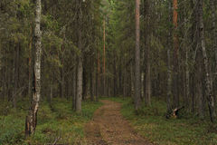 Taiga forest Royalty Free Stock Image