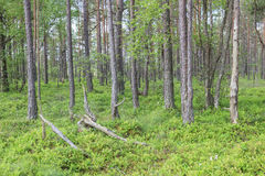 Taiga forest Stock Photography