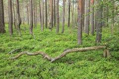 Taiga forest Stock Photos