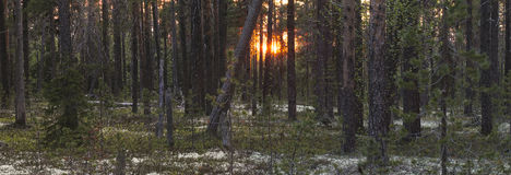 Taiga forest with white nigh Royalty Free Stock Image