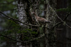 Taiga partridge in native habitat Author: twinlynx. Taiga partridge sitting on a branch surrounded by cedars and birches Stock Images