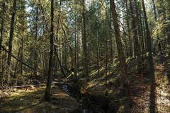 Taiga ravine. Windfall with a broken, fallen to the ground trees and flowing through a ravine brook Stock Images