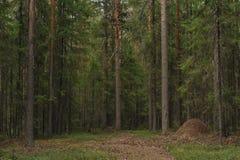 Taiga skog Arkivfoto