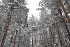 Taiga after snowfall Stock Photos