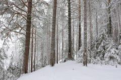 Taiga after snowfall Stock Images