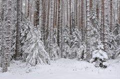 Taiga after snowfall Stock Image