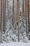 Taiga after snowfall Stock Images