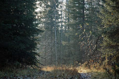 Taiga, sordo in Siberia Fotografia Stock Libera da Diritti