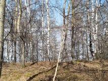 Taiga in the spring. Siberian forest. Taiga. Lake Baikal. Birch forest. Siberian forest. Baikal. Birch forest. Siberian forest. Taiga in the spring. Lake Baikal royalty free stock image