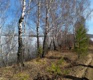 Taiga in the spring. Siberian forest. Taiga. Lake Baikal. Birch forest. Siberian forest. Baikal. Birch forest. Siberian forest. Taiga in the spring. Lake Baikal stock images
