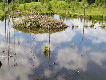 Taiga wetlands beaver lodge Castor canadensis Royalty Free Stock Image