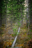 Taiga - wild Siberian forest Stock Images