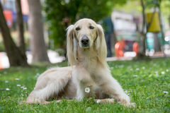 Taigan, Sighthound kirghiz se reposant sur l'herbe verte image libre de droits