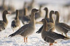 Taigarietgans, Taiga Bean Goose, Anser fabalis royalty free stock photography