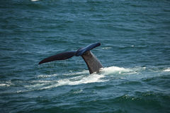 Tail above the water diving southern right whale, South Africa Stock Photos