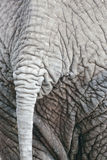 Tail of African Elephant Royalty Free Stock Image