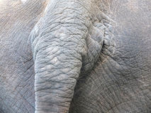 Tail of asian Elephant Royalty Free Stock Photography