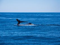 Breaching Whales, Humpback Whale Back and Tail on Blue Ocean. The tail and back of two humpback whales above the surface of a blue ocean as it dives underwater stock photography