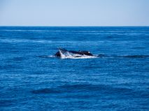 Breaching Whales, Humpback Whale Back and Tail on Blue Ocean. The tail and back of two humpback whales above the surface of a blue ocean as it dives underwater royalty free stock photo