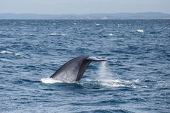 Tail of big blue whale. Blue whale watching safari in Sri Lanka. Blue whale in the open sea. Tail of big blue whale royalty free stock photos