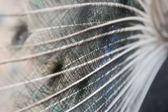 The tail of the bird blurred Mosquito Stock Image