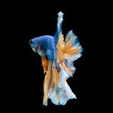 Tail of blue fighting fish Stock Photo