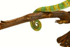 Tail of a chameleon Royalty Free Stock Image