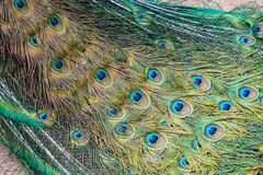 Tail with color feathers of peacock. Tail with color feathers of peacock, Thailand stock image