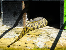 The tail of crocodile Royalty Free Stock Photo