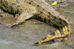 Tail of a crocodile near the water Royalty Free Stock Photography