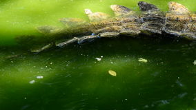Tail of crocodile passing in a river. Crocodile or alligator in a river of a natural park or zoo stock footage