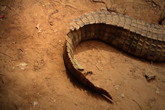 The tail of a crocodile Royalty Free Stock Photography
