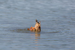 Tail of dabbling duck while feeding from the bottom anas platyr Stock Photo