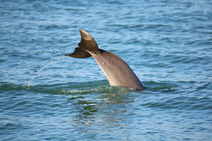 Tail of diving Common bottlenose dolphin Royalty Free Stock Photography