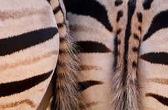 Tail ends of zebras Stock Image