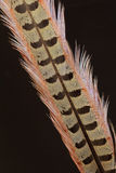 tail feather of Green Pheasant Stock Photo