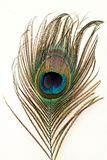 Tail feather of a peacock Royalty Free Stock Photo