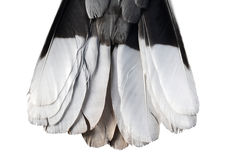 Tail feathers of turtledove. On the white background Royalty Free Stock Photography