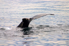 Tail fin of a gray whale in Atlantic Royalty Free Stock Photography