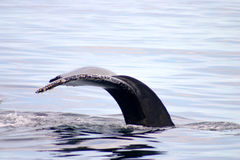 Tail fin of a gray whale in Atlantic Royalty Free Stock Photos