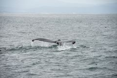 Tail fin of an humpback whale. At the pacific near the californian coast stock image