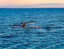 Tail fin of Humpback Whale diving in the sea. Of Iceland in the morning royalty free stock image