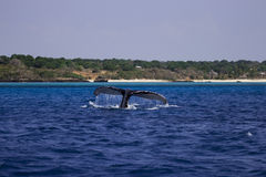 Tail fin of humpback whale at Mozambique Royalty Free Stock Photos