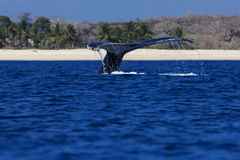 Tail fin of humpback whale at Mozambique Stock Image