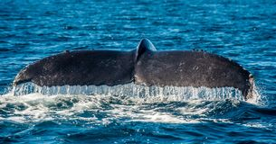 Tail fin of the mighty humpback whale Megaptera novaeangliae. Mexico stock photo