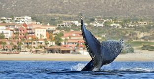 Tail fin of the mighty humpback whale Megaptera novaeangliae. Pacific ocean near the Gulf of California also known as the Sea of Cortez stock photos