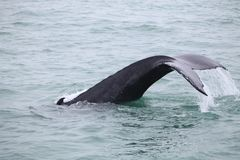 Humpback whale Megaptera novaeangliae seen from the boat near royalty free stock photos